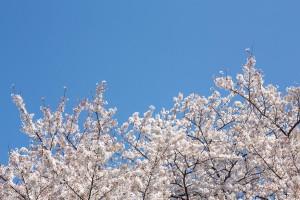 -shared-img-thumb-PAK86_sakurasoraharu14095539_TP_V